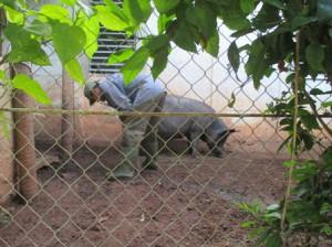 泊まっている部屋の傍らで飼っている母豚、7月に出産予定
