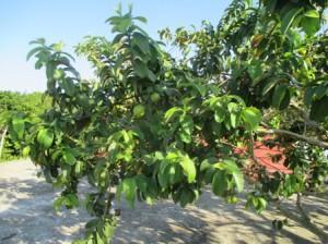 今食べている果実はバナナ以外ではグアバ。ジュースもおいしい