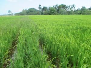 アルベルトさんの田んぼ、4月10日頃出穂、ヒエ科の雑草が見える