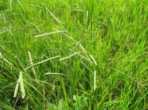 アルベルトのたんぼの雑草とカメムシ