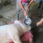 豚の解体風景