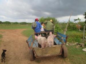 豚の出荷、ヘロナへ馬車で13km、大変