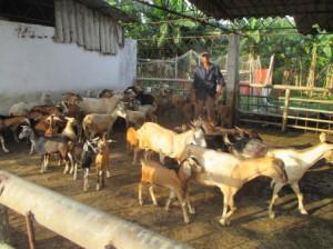 夕方になるとヤギとヒツジが集まってくる、区別がつかない
