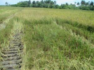 アルベルトの田んぼの収穫風景、穂だけを刈る