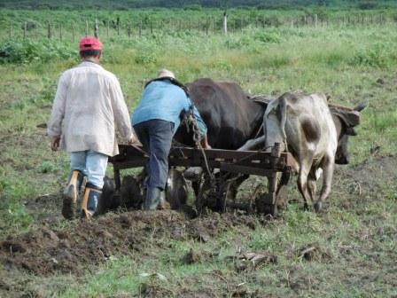 アルベルトの田んぼ、牛で耕起、ここに「LP5」を播く予定