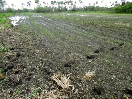 フカロの原田さんの田んぼ、水溜りのところは芽が生えていない