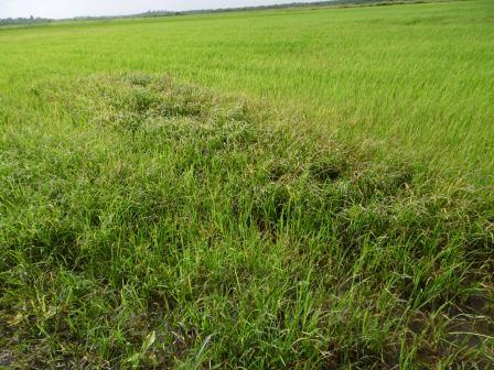 メヤの田んぼ、生育が良いが一部雑草が生えている