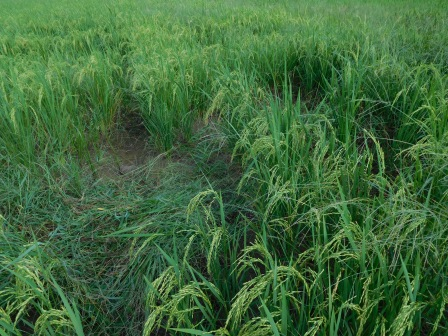 アルベルトの田んぼでの除草作業、去年より少ない