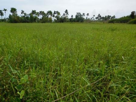 原田さんの田んぼ、雑草が多く、大きい